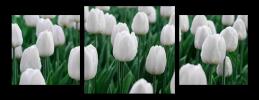 Obraz Biele tulipány