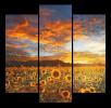 Obraz Slunečnice v poli