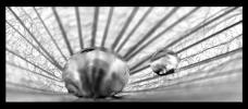 Obraz Pampelišky a kapky