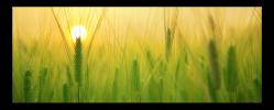 Obraz Západ slunce na poli