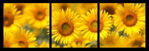 Obraz Slunečnice