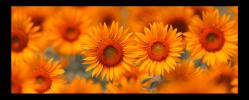 Obraz Oranžové slunečnice