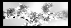 Obraz Černobílé květy