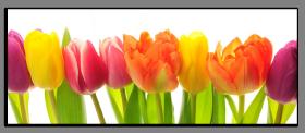 Obrazy tulipány 1006