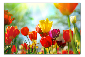 Obrazy tulipány 1039