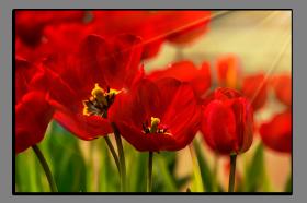 Obrazy tulipány 1041
