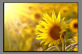 Obrazy slunečnice 1186