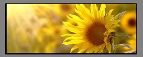 Obrazy slunečnice 1187