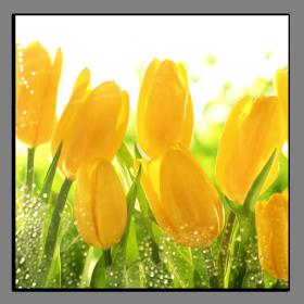 Obrazy tulipány 1196
