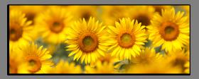 Obrazy slunečnice 1206
