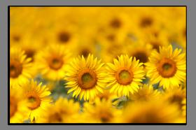 Obrazy slunečnice 1219