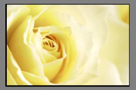 Obrazy růže 1238