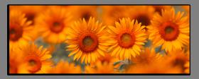 Obrazy slunečnice 1246