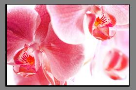 Obrazy orchidey 1282
