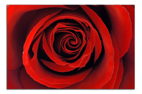 Obrazy růže 1283