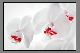 Obrazy orchidey 1287