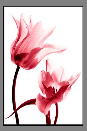 Obrazy tulipány 1289