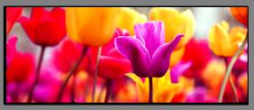Obrazy tulipány 1294