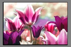 Obrazy tulipány 1322