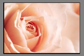 Obrazy růže 1332