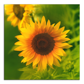 Obrazy slunečnice 2167