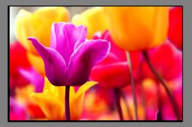 Obrazy tulipány 2176