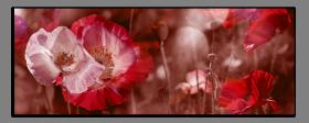 Obrazy máky 2515