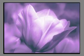 Obrazy tulipány 2551