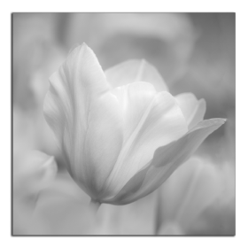 Obrazy tulipány 2554
