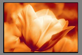 Obrazy tulipány 2556
