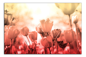 Obrazy tulipány 2608