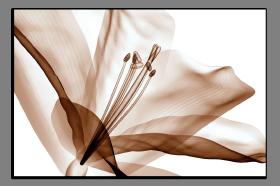 Obrazy tulipány 2629