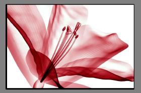 Obrazy tulipány 2631