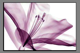 Obrazy tulipány 2636