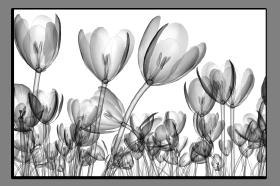Obrazy tulipány 2643