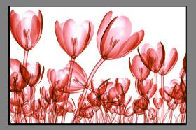 Obrazy tulipány 2646