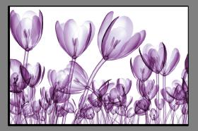 Obrazy tulipány 2650