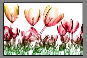 Obrazy tulipány 2652