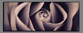 Obrazy růže 2717