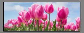 Obrazy tulipány 2800
