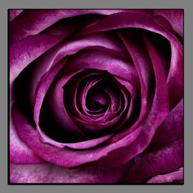 Obrazy růže 2802