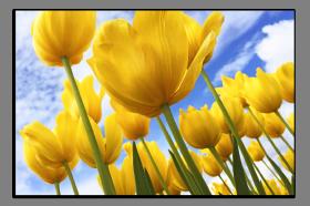 Obrazy tulipány 2803
