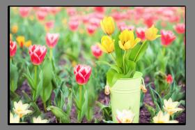 Obrazy tulipány 2901